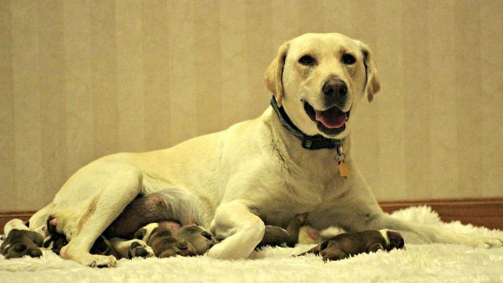 7 Cuccioli Di Bulldog Inglesi Adottati Da Una Mamma Labrador